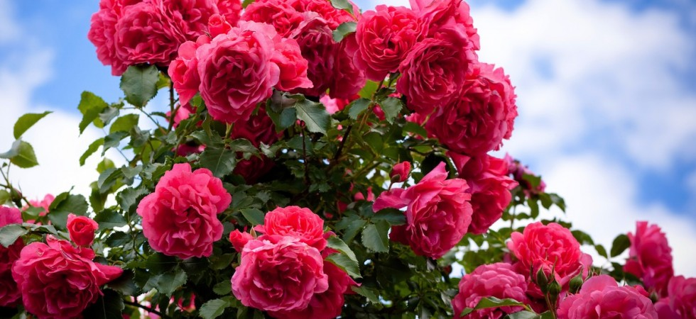 how to make rose oil essential oil